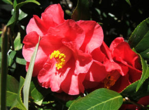 Camellia (Camellia Japonica)